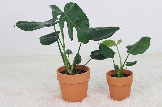 Monstera skvostná: rostlina s jednoduchou péčí